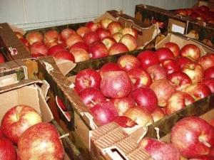 Заготовка свежих яблок в погребе