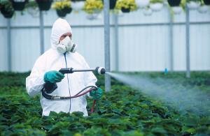 Гусеницы в теплице атакуют помидоры