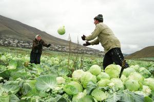 Как правильно убрать капусту и хранить