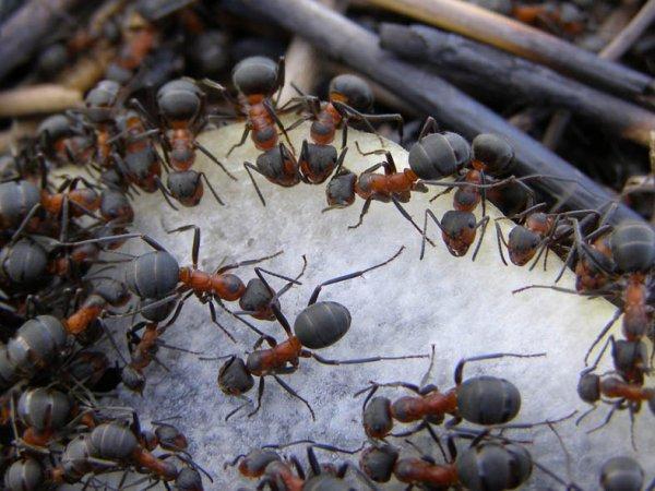 Иерархия муравьев: Королева-матка, рабочие, солдаты, самки и самцы муравьи