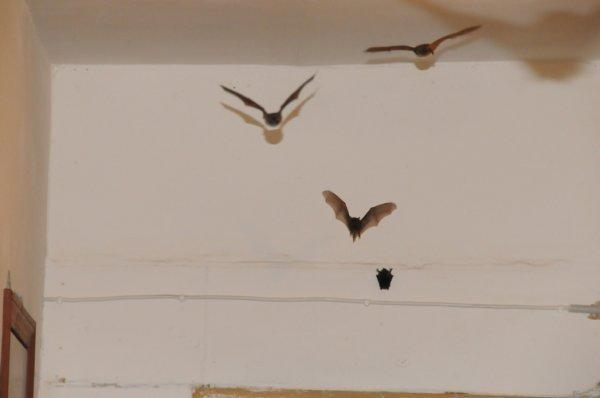 Летучие мыши переносчики бешенства