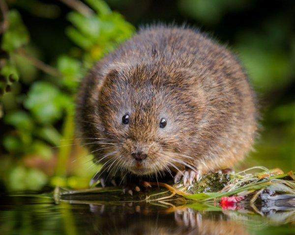 Земляная крыса в огороде фото меры борьбы