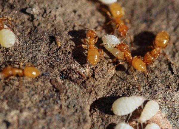в квартире появились маленькие коричневые муравьи