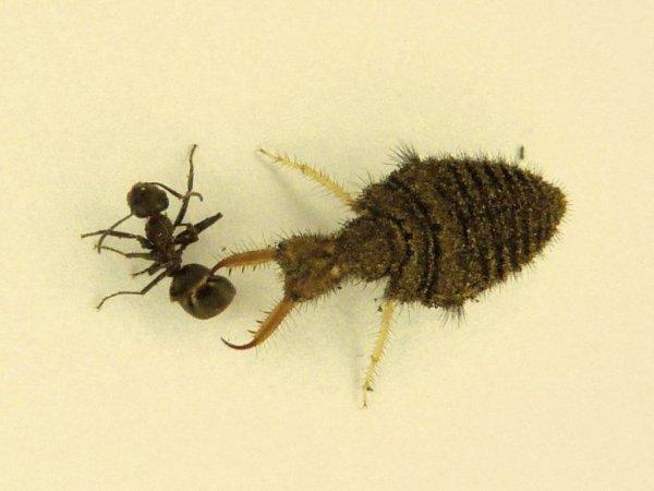 Что ест муравей в лесу