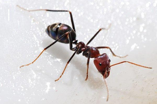 Какой вред наносят домашние муравьи