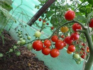 Особенности выращивания томата сортов черри