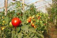 Зелень в теплице - технология посадки и все про выращивание