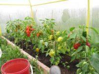 Выращивание сладкого перца в теплице
