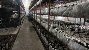 Как выращивать грибы в теплице?
