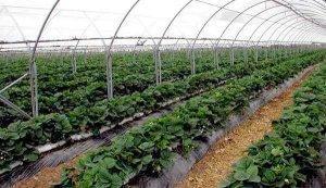 Выращивание клубники в теплице круглый год, бизнес на клубнике