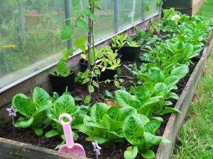 Какие растения выращивают в теплицах