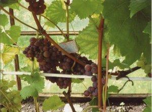 Какие сорта винограда подходят для выращивания в теплице