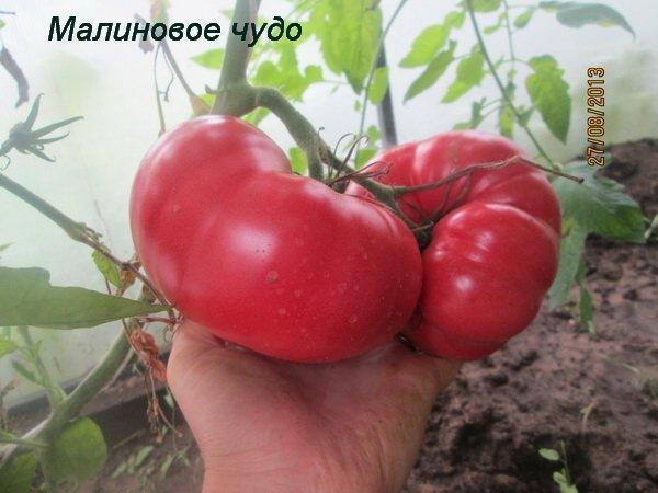 томат малиновый натиск описание и характеристика сорта особенности выращивания с фото