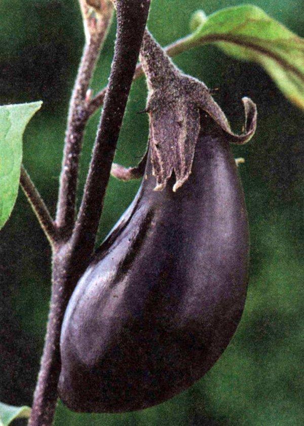 Как растет баклажан в теплице