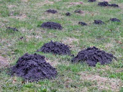 Как бороться с землеройкой на огороде? Как избавиться от нее на даче и дачном участке?