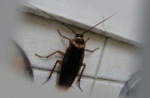 В квартире появились тараканы - почему и как избавиться