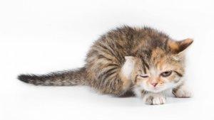 Как вывести блох у новорожденных котят
