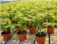 Формирование помидор в теплице из поликарбоната