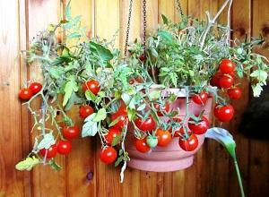 Наслаждайтесь томатами Балконное чудо круглый год! Как вырастить в домашних условиях из семян и все тонкости выращивания помидоров