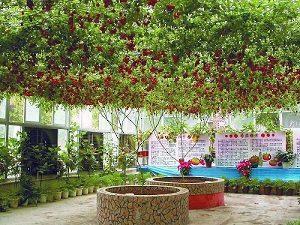 Особенности технологии выращивания помидоров Спрут F1 или как вырастить томаты на дереве?
