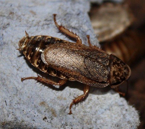 Тараканы с белым пятном на спине