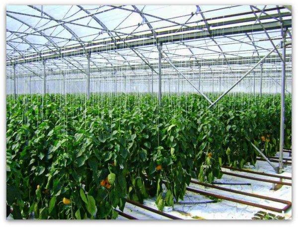 Что можно выращивать в теплице в сибири