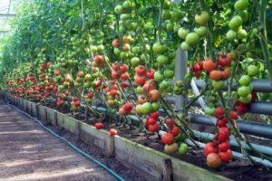 Парник для помидоров и других томатов своими руками