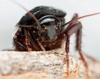 Как размножаются тараканы: описание всех этапов размножения, фото яйц и личинок