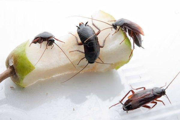 Черный таракан в квартире как избавиться
