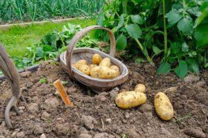 Картофель белые росы описание сорта