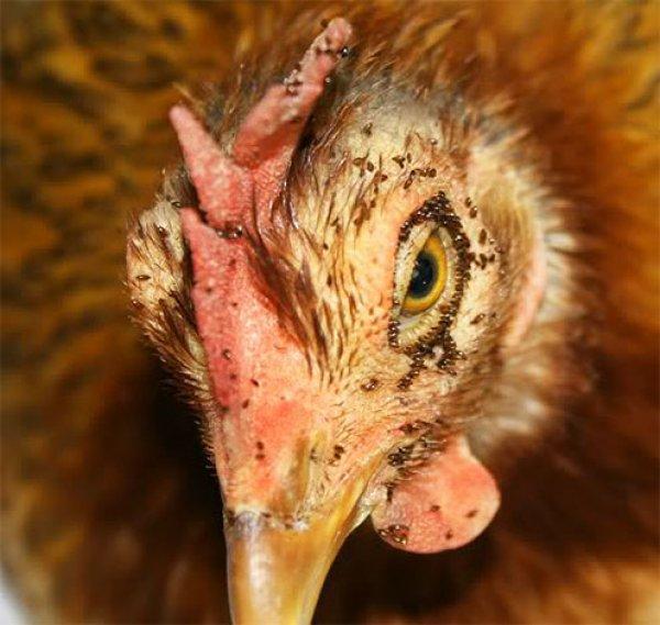 kurinye bloxi 5 600x569 - Куриные блохи: пути появления, меры борьбы и профилактики