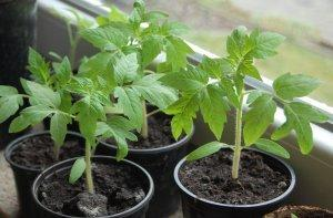 Выращивание рассады томатов и перца