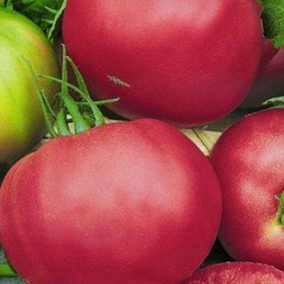 tomat_pink_unikum