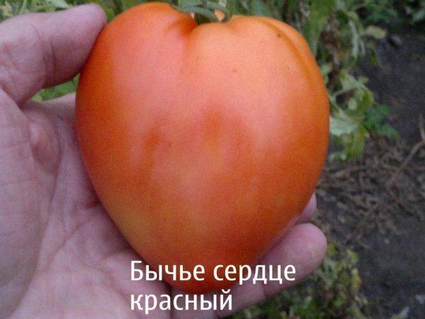 томат львиное сердце характеристика и описание сорта его урожайность с фото