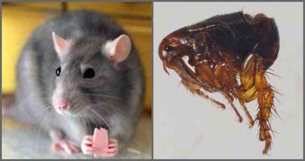 Личинки блох: как выглядят, как избавиться, профилактика