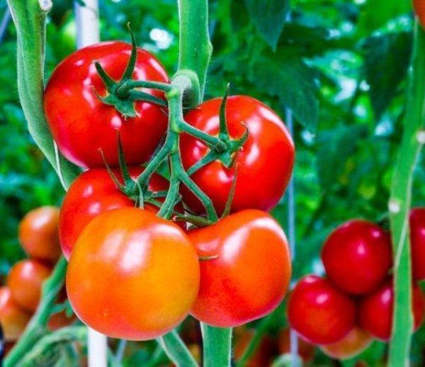 Томат супергигант розовый f1 описание сорта особенности выращивания и урожайность