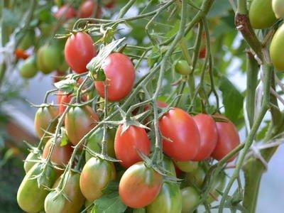tomat_chio_chio_san_2