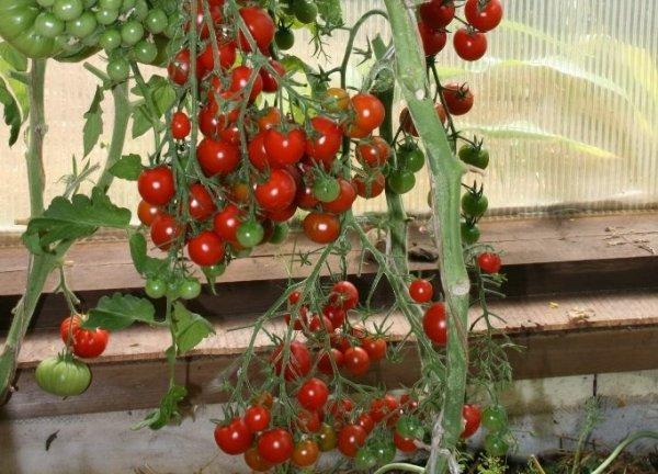 Томат красная гроздь характеристика и описание сорта