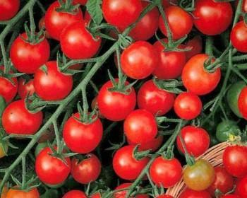Как выбрать и вырастить томат Де Барао Неприхотливый и выносливый сорт