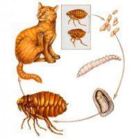 Капли Инспектор для кошек - инструкция по применению