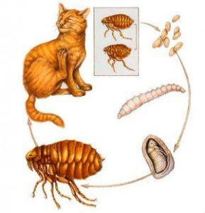 Чем у кошки вывести блох в домашних условиях навсегда