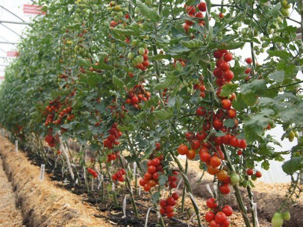 Поздние сорта помидоров для открытого грунта