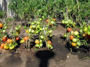 Ультра-ранние сорта помидоры устойчивые к заболеваниям и заморозкам