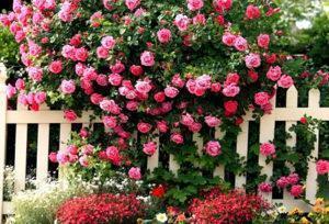 Как вырастить розу из черенка видео, размножение роз черенками