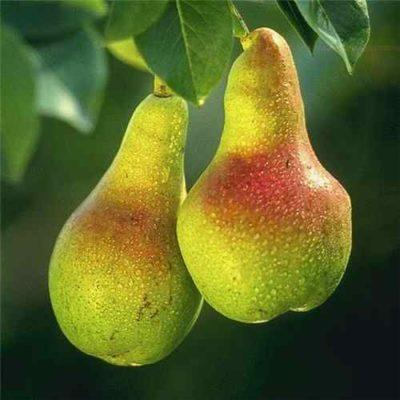 Спиртовой раствор борной кислоты для опрыскивания растений. Борная кислота – удобрение для приумножения урожая. Борная кислота для роз