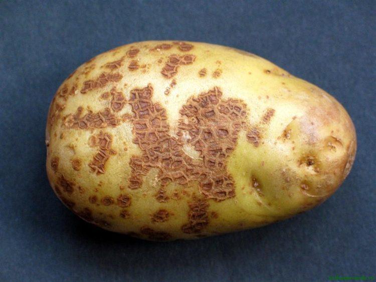 Фитофтора заболевание томатов картофеля которое проявляется
