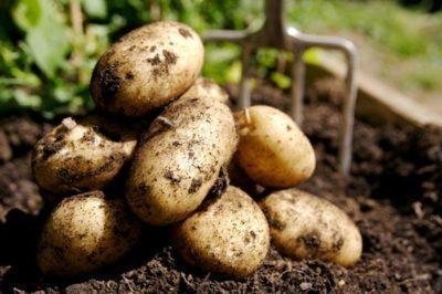 Как спасти картофель от рака