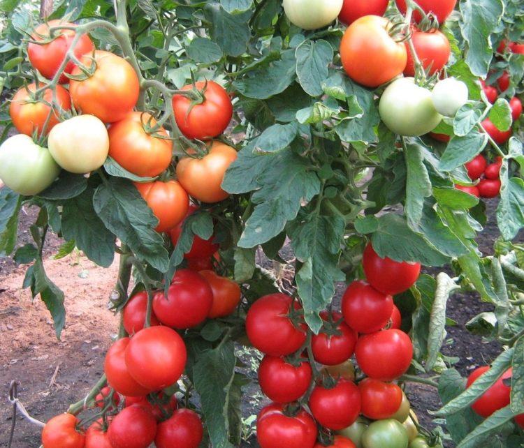 среднерослые томаты для теплиц высокоурожайные