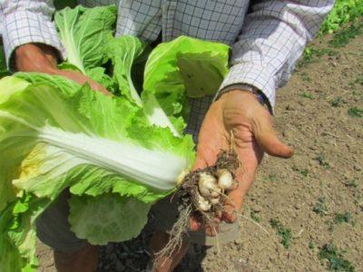 Капуста пекинская выращивание из семян