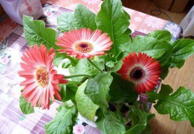 Размножение герберы в домашних условиях